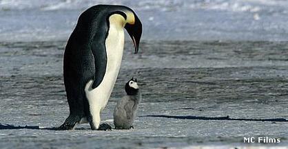 El colgajo del pingüino